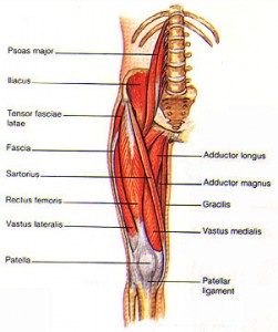 The anterior leg muscles and hip flexors, which antagonizes the gluteals.